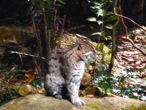 A fishing cat in the Night Safari
